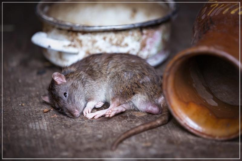 крыса на полу