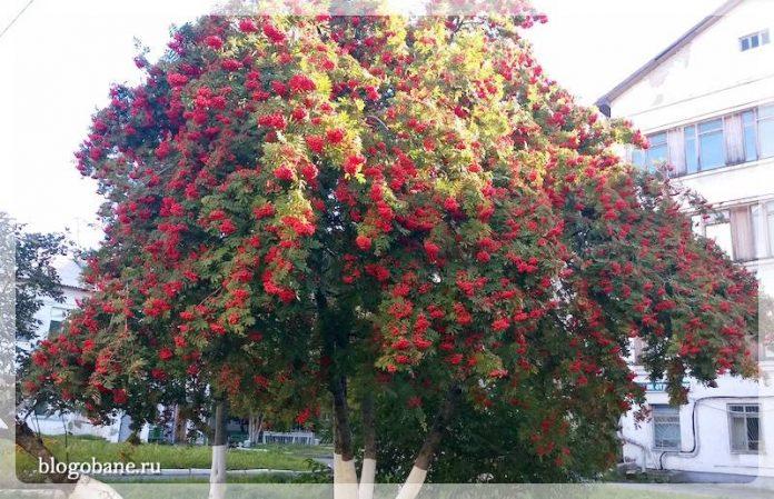 созревшие ягоды рябины