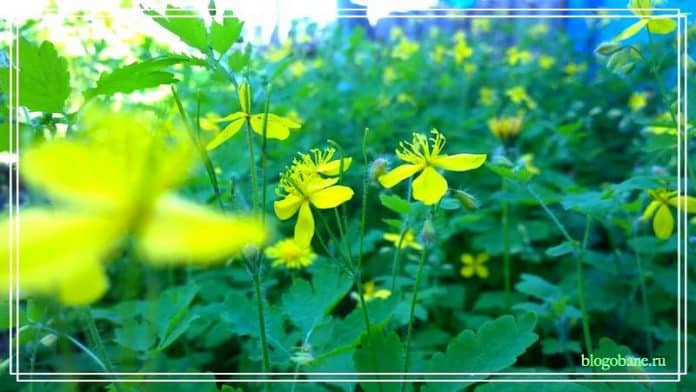 трава чистотела