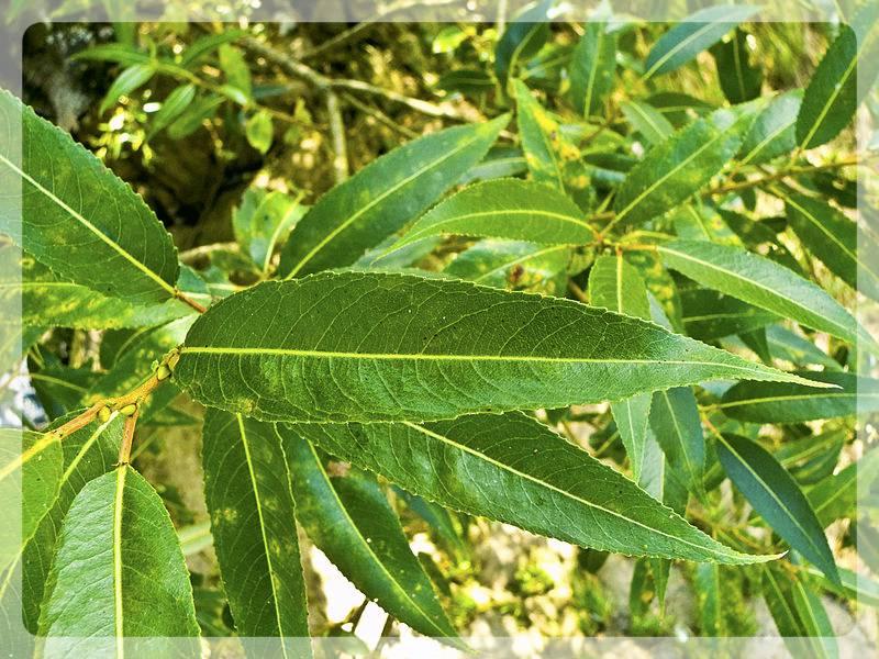 Листья ивы