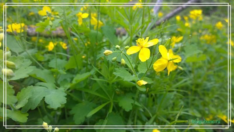 цветы чистотела