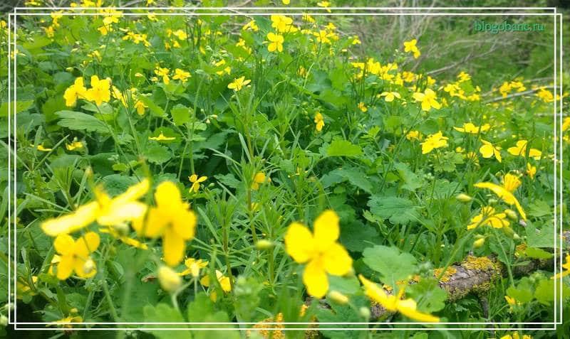 лечебная трава чистотел